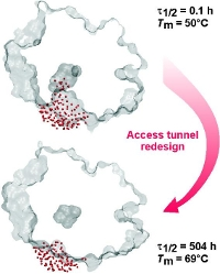Engineering Enzyme Stability and Resistance to Organic Co-solvent by Access Tunnel Modification photo