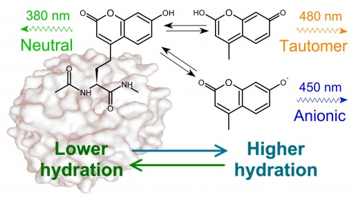 Site-specific Analysis of Protein Hydration Based on Unnatural Amino Acid Fluorescence
